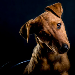 Studio Dog by Daniel Craig Johnson - Animals - Dogs Portraits ( studio, pet, photographer, dog, light, photography,  )