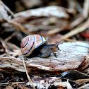Snail(s)