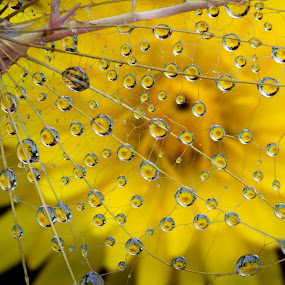 Dandelion Seeds with Refractions by Lynne McClure - Nature Up Close Natural Waterdrops ( dandelion, macro photography, nature up close, seeds, refraction,  )