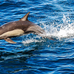 Common Dolphin by Sally Shoemaker - Animals Sea Creatures ( sea creatures, underwater life, ocean life )