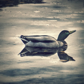Lonely Duck Looking for Friend by Nat Bolfan-Stosic - Animals Other ( duck, lack, looking for, small, friend )