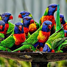 Lorikeet Feeding Time, Australia by Chris KIELY - Animals Birds ( bird, time, colourful, color, australia, feeding, birds, lorikeet, , #GARYFONGPETS, #SHOWUSYOURPETS, colorful, mood factory, vibrant, happiness, January, moods, emotions, inspiration )