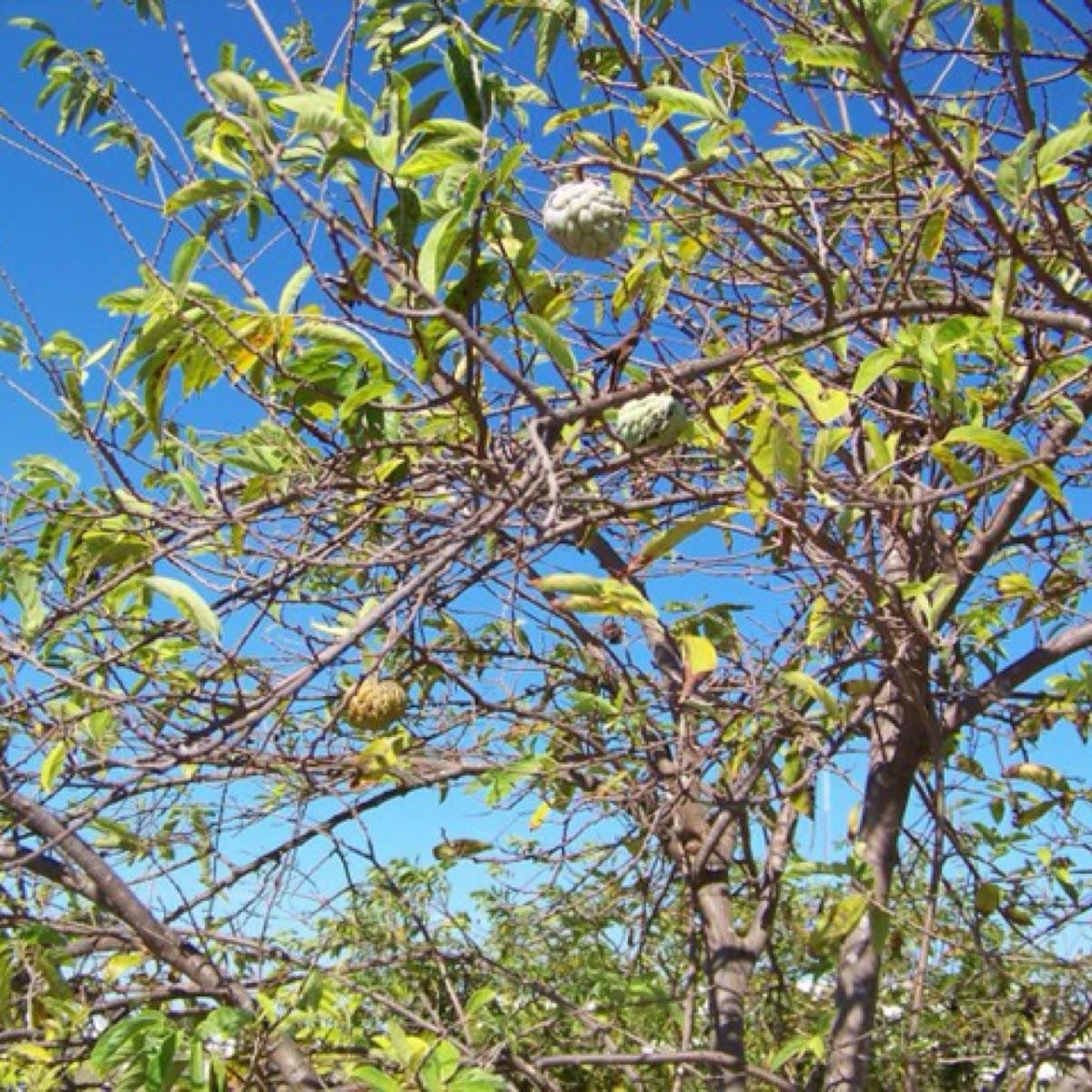 Saramuyo or sugar_apple