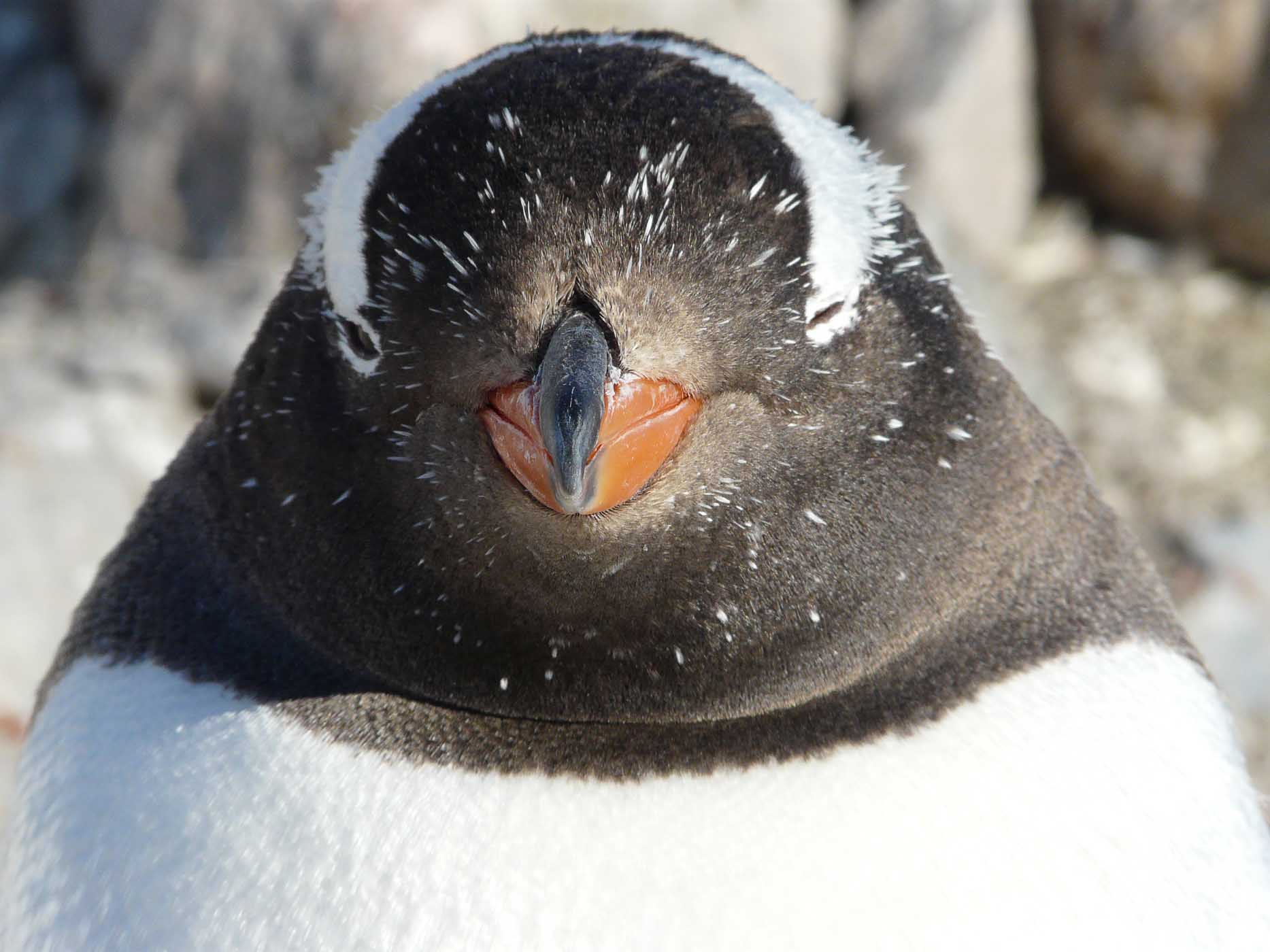 A closeup of a gentoo penguin in Antarctica during a G Adventures expedition.