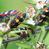 Jewel beetles mania