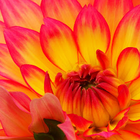 Gallery Pablo Dahlia by Marilyn Magnuson - Flowers Flower Gardens ( yellow red flowers, macro flowers, flowers, dahlia )