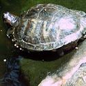 Water Turtle, Red eared Slider