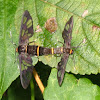 Moth Wasp