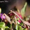 Bordered Mantis