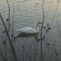 Domestic Goose, Embden Goose