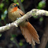 Orange-eyed Thornbird