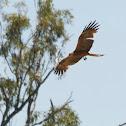 Australian Black Kite
