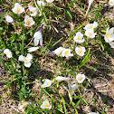 Frühlingskrokus or Spring Crocus