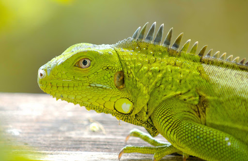 Bonaire-iguana - A green iguana poses for his closeup on  Bonaire.