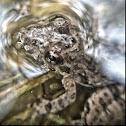 Cricket Frog