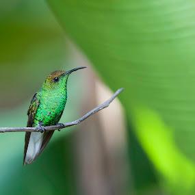 Beautiful Emerald by Annette Flottwell - Animals Birds ( colibri, emerald, hummingbird, green, verde,  )