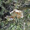 sulphur polypore, sulphur shelf or chicken mushroom