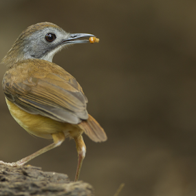 Short-Tailed Babbler by Eric Wang - Animals Birds ( short, bird, babbler, worm, food, mouth, small, tailed )