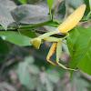 Giant Asian Mantis
