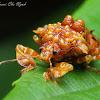 Pentatomid Shield Bug