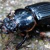 Bess Beetle (Passalidae)