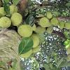 nangka or Jackfruit