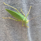 katydids or bush-crickets.