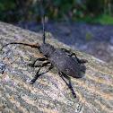 The weaver beetle
