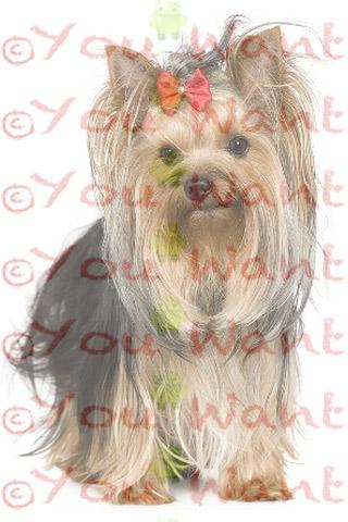 Yorkshire Terrier Wallpapers - screenshot