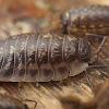 Oniscus asellus