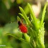 Shield bug (First instar)
