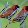 The scaly-breasted munia