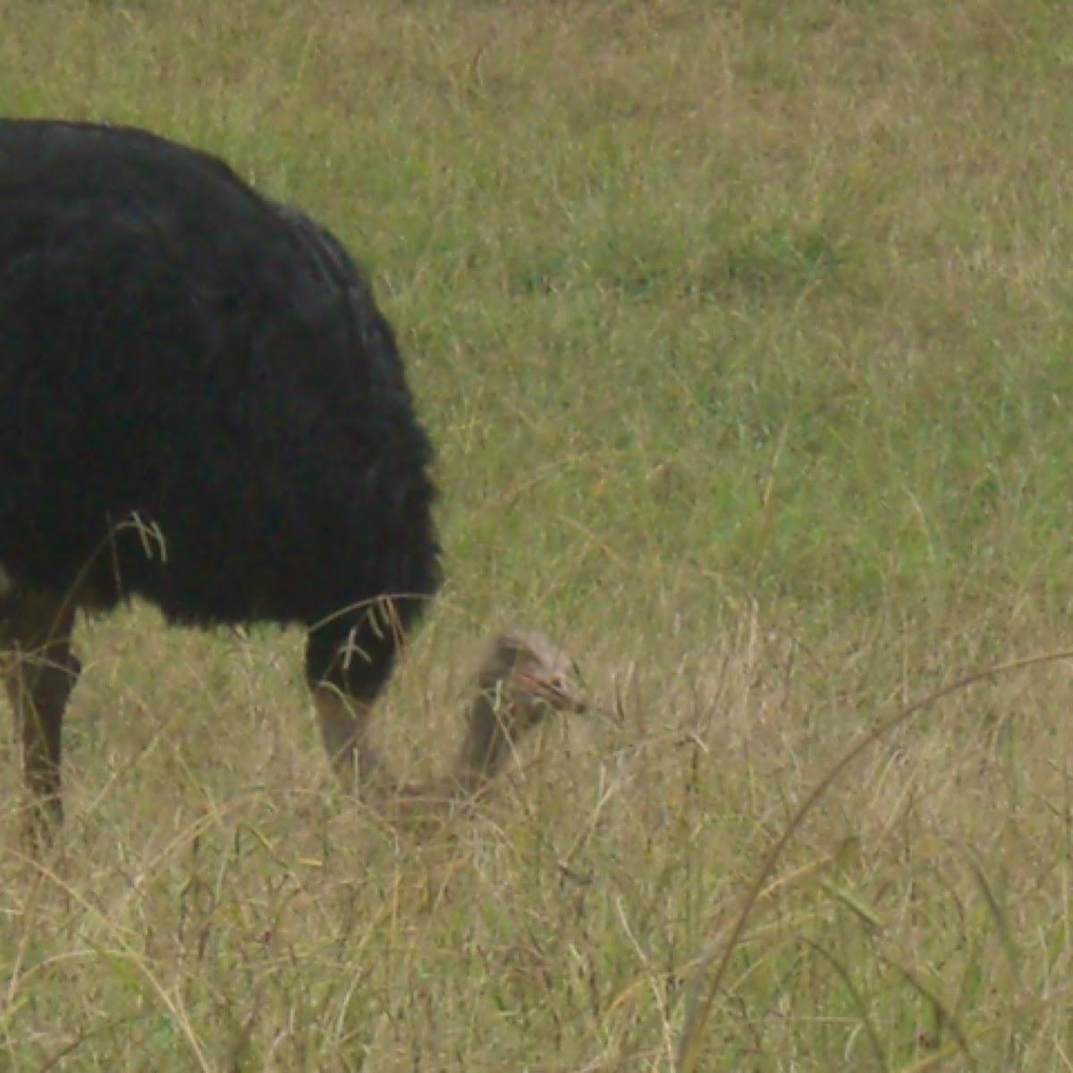 Ostrich or avetruz