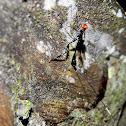 crown wasp