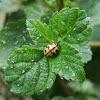 Indian Wave Striped Ladybug