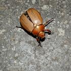 Common Christmas Beetle