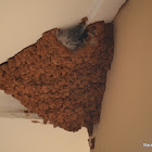 Greater striped swallow nest