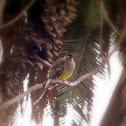 Red Wattlebird a.k.a Barkingbird
