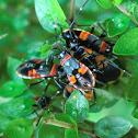 Harlequin Bug nymphs