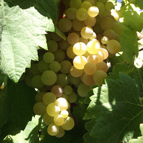 Grapes-01 by Joao Sousa - Nature Up Close Other Natural Objects