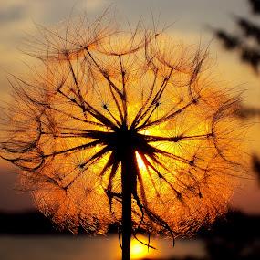 by Svetlana Micic - Uncategorized All Uncategorized ( orange, macro, nature, dandelion )