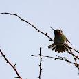 Hummingbirds of BC