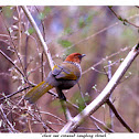 Chest nut Crowned Laughing Thrush