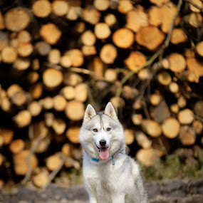 San by Paweł Prus - Animals - Dogs Portraits ( intelligent, almond, breed, canis, wood, pull, show, harsh, sled, siberia, colour, leafs, tree, family, husky, working, smile, sibe, laugh, spitz, white, forest, portrait, sitting, lupus, active, trees, shaped, colorful, cute, spring, icee, grey, coat, siberian, sitt, female, color, pet, background, fall, outdoor, ears, sibirsky, bitch, brown, down, cut, dense, dog, nose )