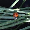 2-Spot ladybird