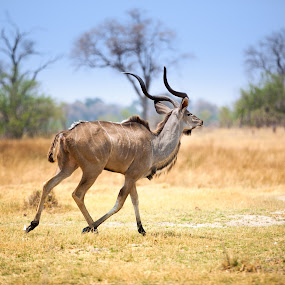 Kudo running away in Chobe National Park by Marjorie Speiser - Animals Other Mammals ( horn, eyes, twisted, nature, safari, horned, bush, wild, isolated, grass, national, alert, mammal, magnificent, masculine, antelope, reserve, face, herbivore, horns, african, ruminant, wildlife, blur, chobe-national-park, pretty, looking, chobe, southern, kudu, sunny, attractive, fur, corkscrew, kruger, africa, bovidae, tragelaphus, animal, park, strepsiceros, male, beautiful, spiral, game, bull, field, mount, blue, hollow, outdoor, ears, brown, standing, smart,  )