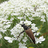 Flower Longhorned Beetle