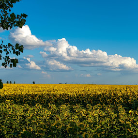 Clouds over Sun worshippers by Cristian Bobocea - Landscapes Cloud Formations ( field, tree, shadow, cloud, sunflower )