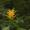 Yellow Jacobinia
