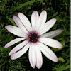 Dimorphotheca ecklonis (Cape marguerite, Van Staden's River daisy, Sundays River daisy, White daisy bush, Blue-and-white daisy bush, Star of the Veldt